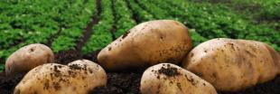 Le prix de la pomme de terre explose