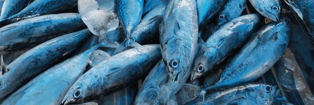 Souffrance des poissons : que savons-nous ?