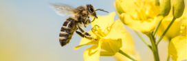 Dans les champs de colza, les abeilles sont plus efficaces que les pesticides!