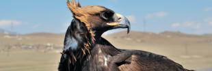 Des aigles font exploser la facture de téléphone d'ornithologues russes