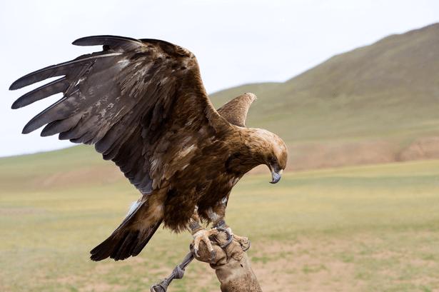 aigle steppes