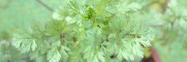 Plantes aromatiques: comment planter la coriandre?