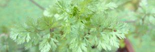 Plantes aromatiques : comment planter la coriandre ?