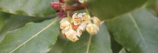 Herbes aromatiques - Comment planter du laurier sauce
