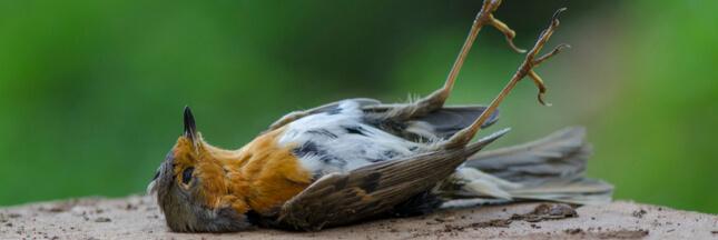 Mortalité des oiseaux : qui les tue par milliards ?