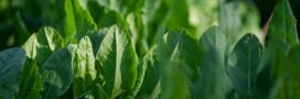 Plantes aromatiques – Comment faire pousser de l'oseille (juillet)