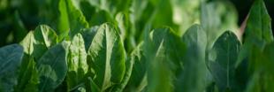 Plantes aromatiques - Comment faire pousser de l'oseille