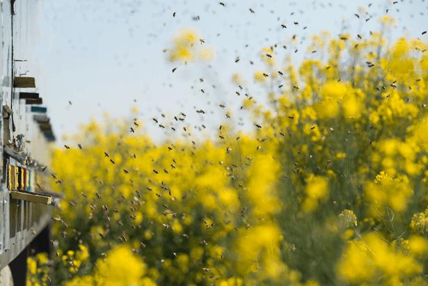 abeilles colza