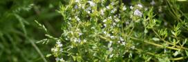 Plantes aromatiques: comment faire pousser de la sarriette