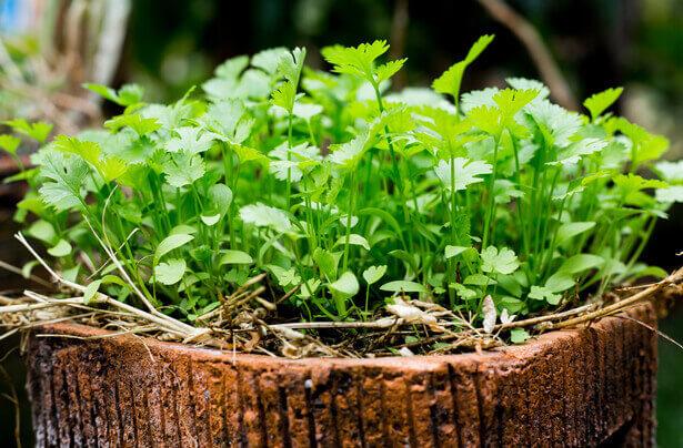 planter coriandre