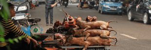 Pénurie de cochons en Chine : la viande de chien est de retour
