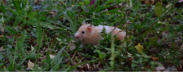 adopter un hamster