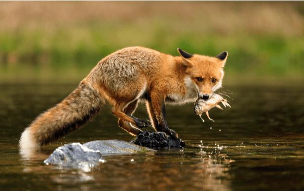 chasse renard