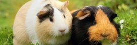 Cochon d'Inde – Comment bien en prendre soin de son cobaye