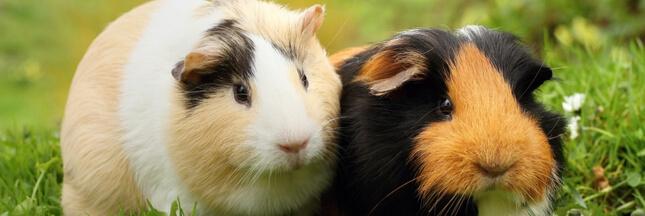 Cochon d'Inde - Comment bien en prendre soin de son cobaye