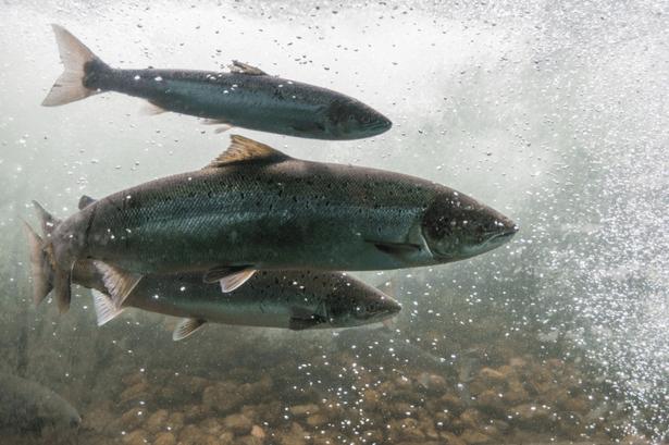 elevage saumon