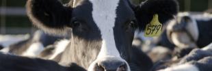 Victoire pour les riverains : avis défavorable pour l'extension de ferme aux 1000 vaches de Houlbec-Cocherel