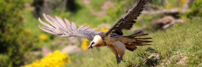 Connaissez-vous le Gypaète barbu: un vautour bien de chez nous et bien menacé?