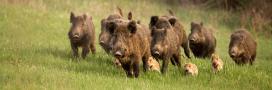 Sangliers: nuisances, chasse et autres problématiques