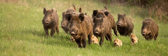 Sangliers : nuisances, chasse et autres problématiques