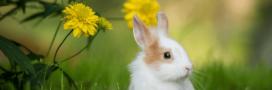 Conseils pour adopter et prendre soin d'un lapin nain