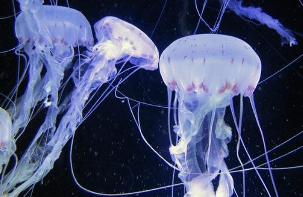 méduses spectacle envoutant