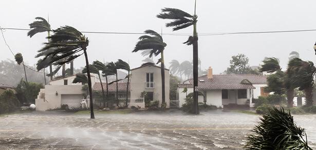 grive fauve, prédire les ouragans