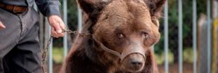 Maltraité par ses propriétaires, l'ours Mischa est mort