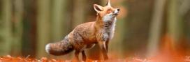 Le renard déclassé de la liste des nuisibles dans 117 communes du Doubs