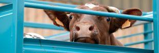 L'enquête choc sur l'abattage de bovins et ovins français à l'export