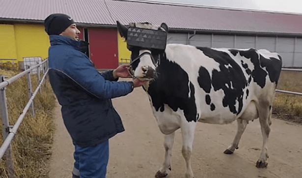 vache realite virtuelle
