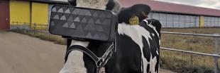 Quand la réalité virtuelle booste la production de lait des vaches