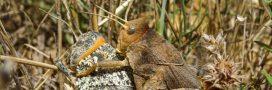 Connaissez-vous le Criquet de Crau: un insecte bien de chez nous et bien menacé