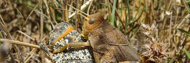 Connaissez-vous le Criquet de Crau : un insecte bien de chez nous et bien menacé
