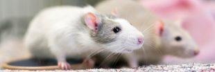 Alimentation, santé, besoins... Tout savoir avant d'adopter un rat