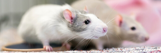 Alimentation, santé, besoins… Tout savoir avant d'adopter un rat