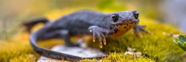 En Bretagne, on ne lésine pas pour protéger grenouilles et batraciens!