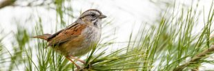 Il fait de plus en plus chaud, et les oiseaux migrateurs rétrécissent !