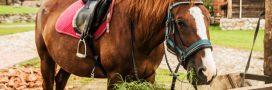 Obésité des chevaux: la faute au réchauffement climatique?