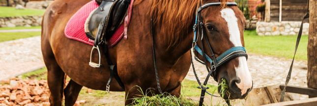 Obésité des chevaux : la faute au réchauffement climatique ?