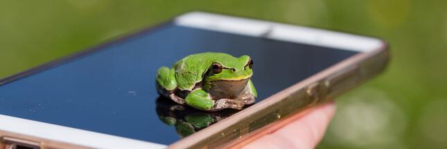 Pour prendre des nouvelles des grenouilles, les chercheurs leur téléphonent