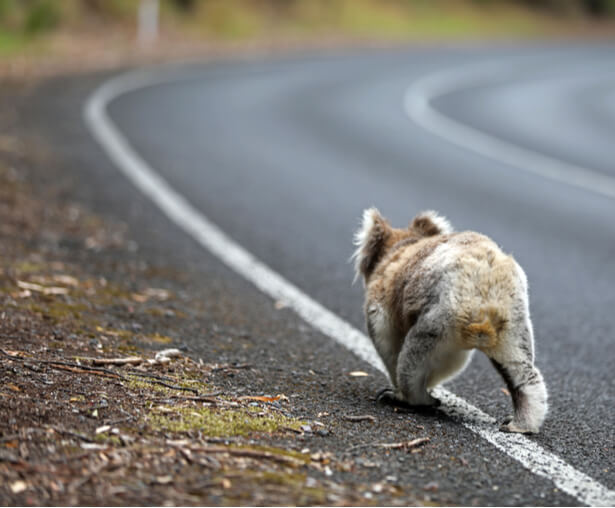 koala incendies