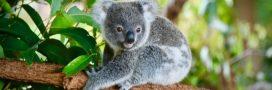 Australie: un tiers des koalas déjà morts dans les méga-incendies
