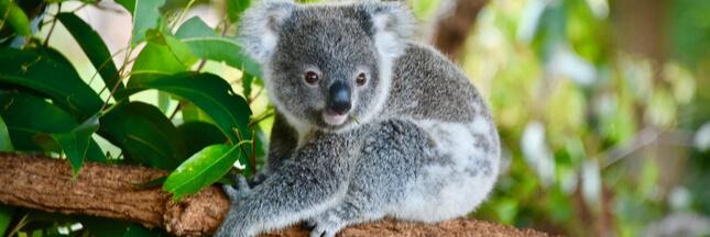 Australie : un tiers des koalas déjà morts dans les méga-incendies