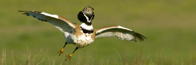 Connaissez-vous l'Outarde canepetière, cet oiseau bien de chez nous et bien menacé?