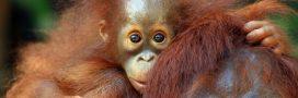 La vie d'un orang-outan vaut-elle plus que celle d'une méduse?