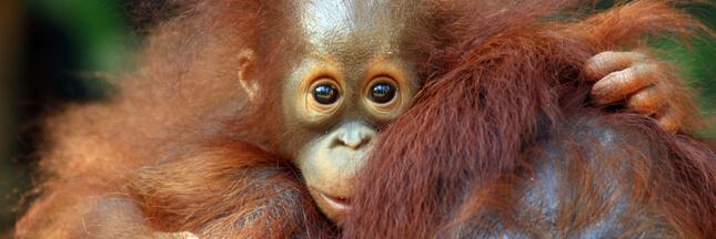 La vie d'un orang-outan vaut-elle plus que celle d'une méduse ?