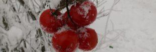 Les tomates bio françaises en hiver, c'est fini