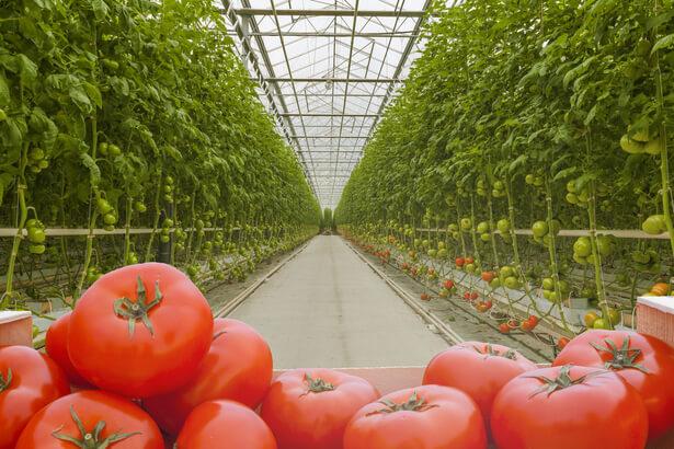 tomates serre