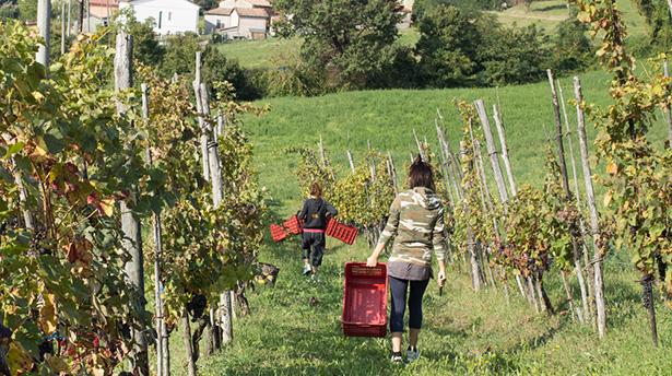 vignoble hybride en France: plus de pesticides